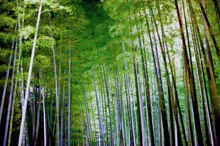 京都高台寺竹林