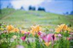 【びわこ箱館山ゆり園】夏のお出かけにおすすめ!眺望抜群の避暑地・見頃と詳細情報