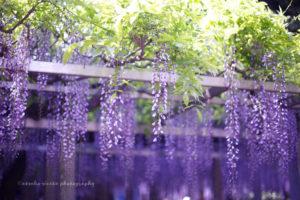 滋賀草津・三大神社・満開の藤棚